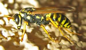 European Paper Wasp Queen