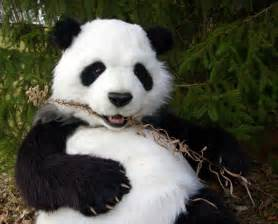 112 best images about ♦Panda Bears & Polar Bears♦ on ...