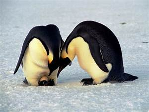Penguin Reproduction - Penguin Facts and Information