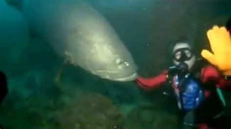 grouper goliath diver bites saltstrong