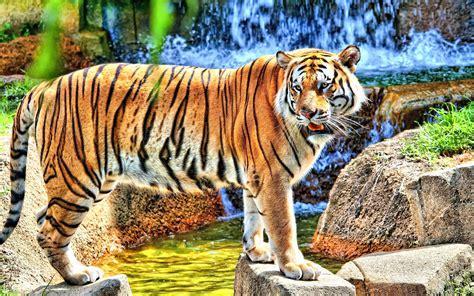 Tiger High Definiton Desktop Backgrounds Wallpapers