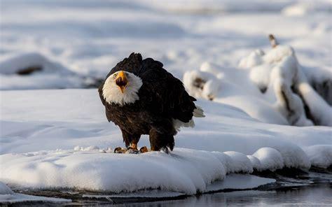 eagles wallpapers  desktop pixelstalknet
