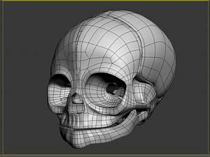 3d Anatomical Baby Skull Model