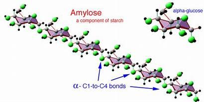Starch Amylose Amylopectin Types Plants Stored Polysaccharides