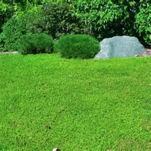 Carpet Remnants Austin by Green Carpet Ground Cover Seeds Carpet Vidalondon