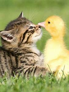 Cat and Duck | Animalis PlaNeta | Pinterest