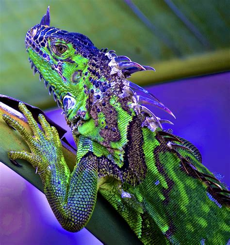 Iguana Patterns and Colors...enjoy BIG | This almost 4 ft ...