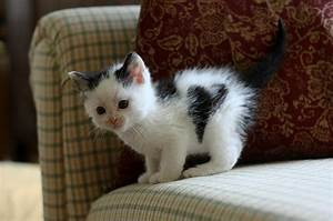 adorable, black and white, blue eyes, cat, couch, - image ...