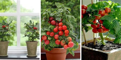Growing Tomatoes Indoors On A Windowsill by How To Grow Windowsill Tomatoes Indoors Easy And