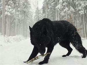 black wolf , so mystical, strong, and independent. a pure ...