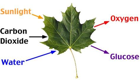 important diagrams photosynthesis leaf