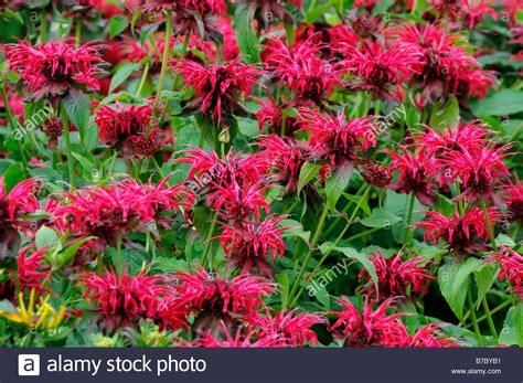 Monarda Feuerball Bergamotte Rote Blume Garten Pflanze