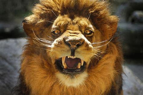 cheetah attack animals