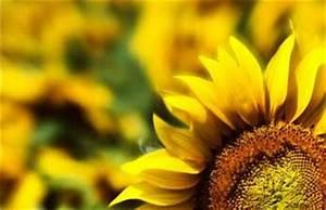 Die Farbe Gelb : gelb eine zwiesp ltige farbe farbimpulse ~ Watch28wear.com Haus und Dekorationen