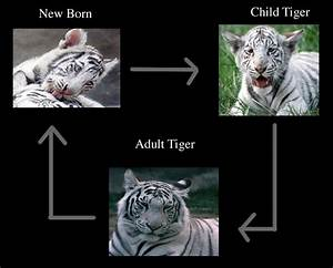The Life Cycle Of The Tiger