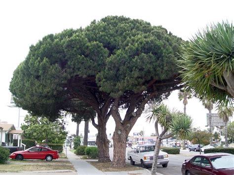 italian pine tree plantfiles pictures italian pine umbrella pine 7609