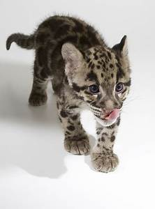 National Zoo clouded leopards Smithsonian's National Zoo ...