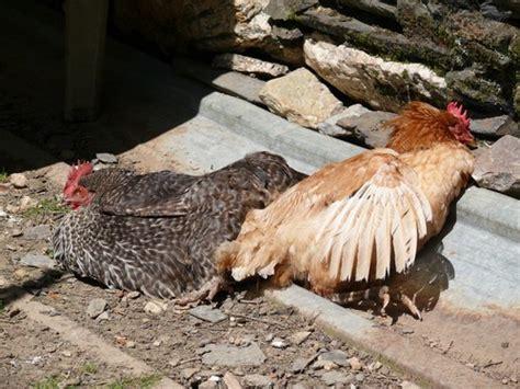 comment arreter la couvaison d une poule