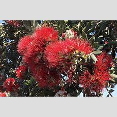 New Zealand Christmas Tree  Santa Barbara Beautiful