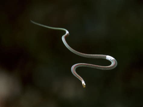 flying snakes fly