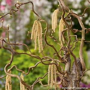 korkenzieherhasel corylus avellana 39contorta39 form With französischer balkon mit rosen für garten kaufen