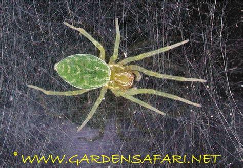 Garden Spider Green by Gardensafari Garden Spiders With Lots Of Pictures