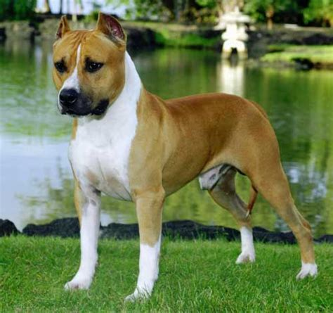Small Non Shedding Dogs Uk by American Staffordshire Terrier Carattere Alimentazione