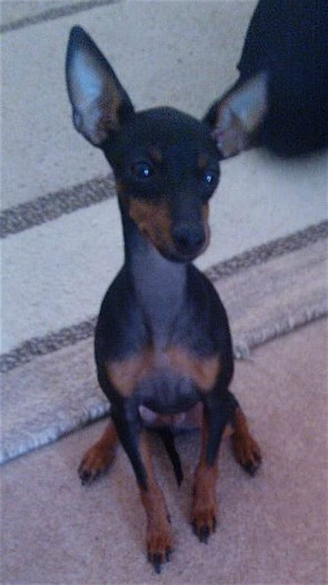 english toy terrier      find