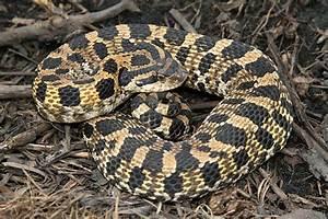 Hognose Snake Related Keywords - Hognose Snake Long Tail ...