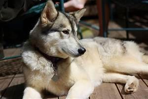 11 best Husky/wolf Mix images on Pinterest | Dogs, Husky ...