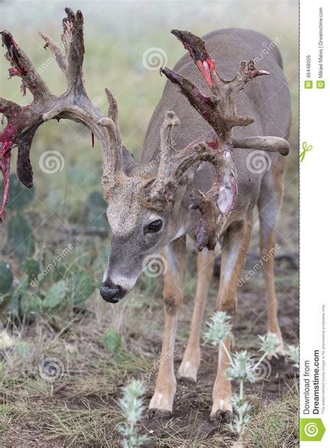 Whitetail Deer Shedding Velvet by Whitetail Buck Shedding His Velvet Stock Photo Image