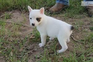 White Australian Cattle Dog