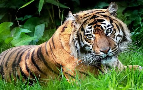 Tiger Photo by Tiger Wallpapers Tiger Stock Photos