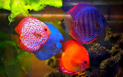 Fish Discus Tropical Desktop Wallpapers Pesti Aquarium