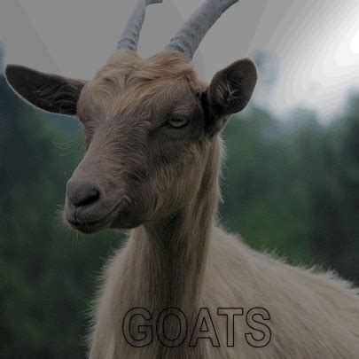 kidzone animals goats 130 | goat index image
