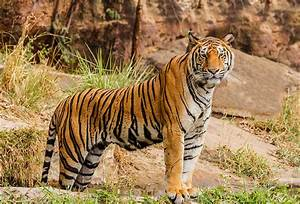 File:An Indian tiger in the wild. Royal, Bengal tiger ...