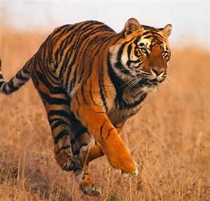 Tigers vs. Sharks: Apex Predator Showdown | InSCIder ...