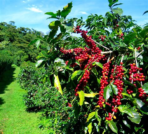 It turns out that's a much more difficult question to answer than whether they found that while the origin of the bean didn't matter, the species did: 25 Raw, Green Coffee beans, Coffea arabica, Columbia grown