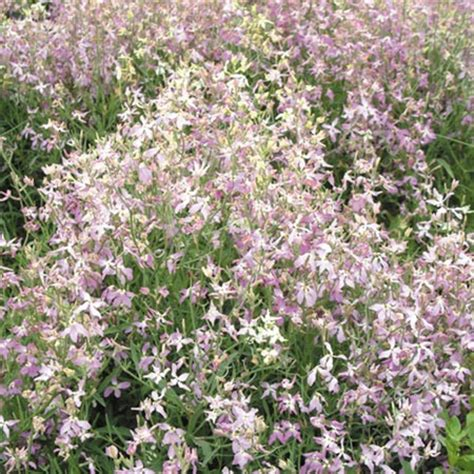 flowers to plant in april night scented stock seeds daybright mixed april flowers to plant what flowers to plant in