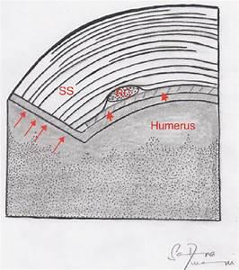 Supraspinatus Footprint And Rotator Cable  The Long Axis
