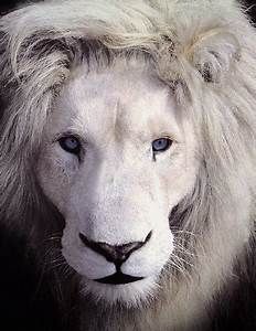 White Lions With Green Eyes