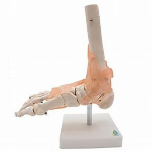 Kouber Anatomical Medical Knee Joint With Ligaments Model
