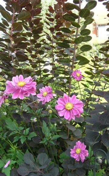 Naturnaher Garten Im Herbst by Herbst Anemonen Garten Naturnaher Garten