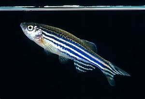 The Zebrafish also known as the Zerba Danio « andysworld!