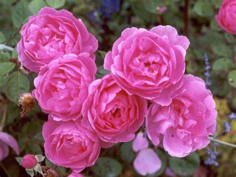 pink david roses pink rose pictures