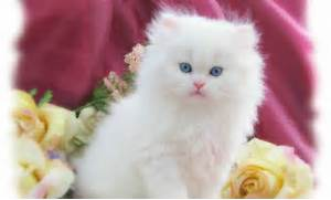 Kitten - Cats Wallpaper  White Baby Cat With Blue Eyes