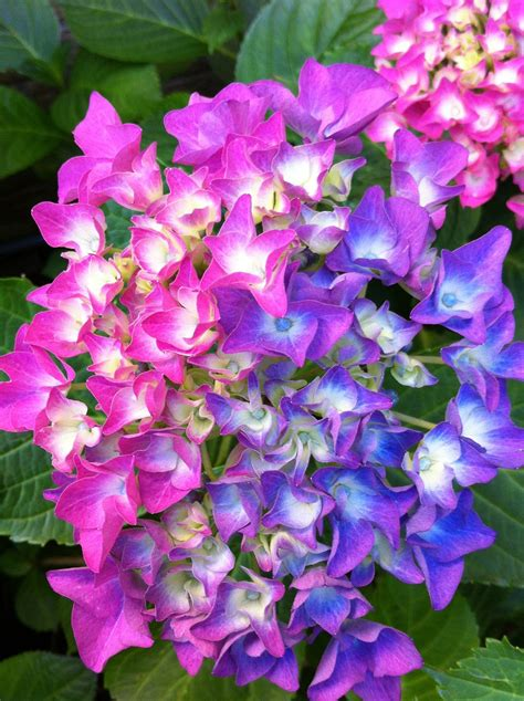 hydrangea flower care top 10 tips on how to plant grow and care for hydrangeas hydrangea garden shrubs and shrub