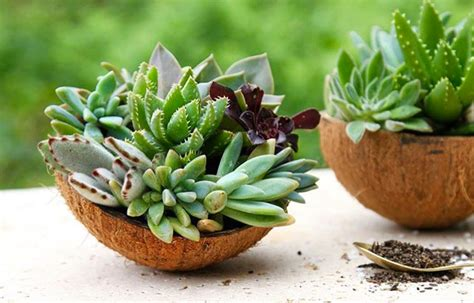 how to turn coconut shells into succulent gardens better