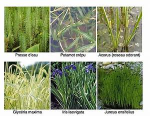 Plante Filtrante Pour Bassin : plante de bassin filtrante ~ Louise-bijoux.com Idées de Décoration