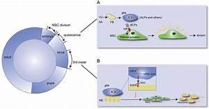 Drosophila Glia Modulate Neural Stem